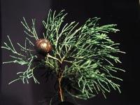 Australian Blue Cypress Essential Oil 12ml