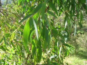 Eucalyptus 'Australiana' Essential Oil 12ml