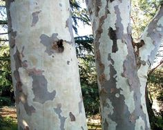 Eucalyptus Lemon Scented Gum 12ml