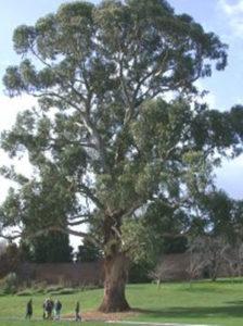 Eucalyptus Globulus in Depth