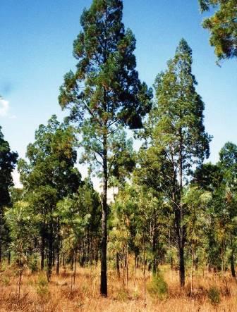 Kakadu Blue Insect Repellant