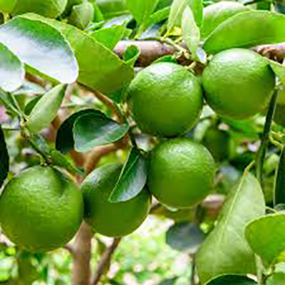 Lime Cold Pressed 100% Pure Essential Oil